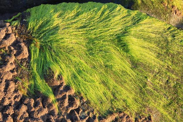 zelené mořské řasy
